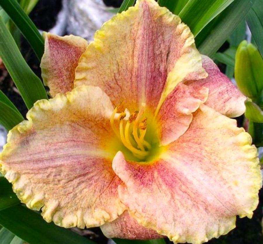 На одном цветоносе лилейника ежедневно распускаются 2-3 цветка, которые живут всего один день, но завтра распустятся новые. А общая продолжительность цветения от 1 до 5 недель.