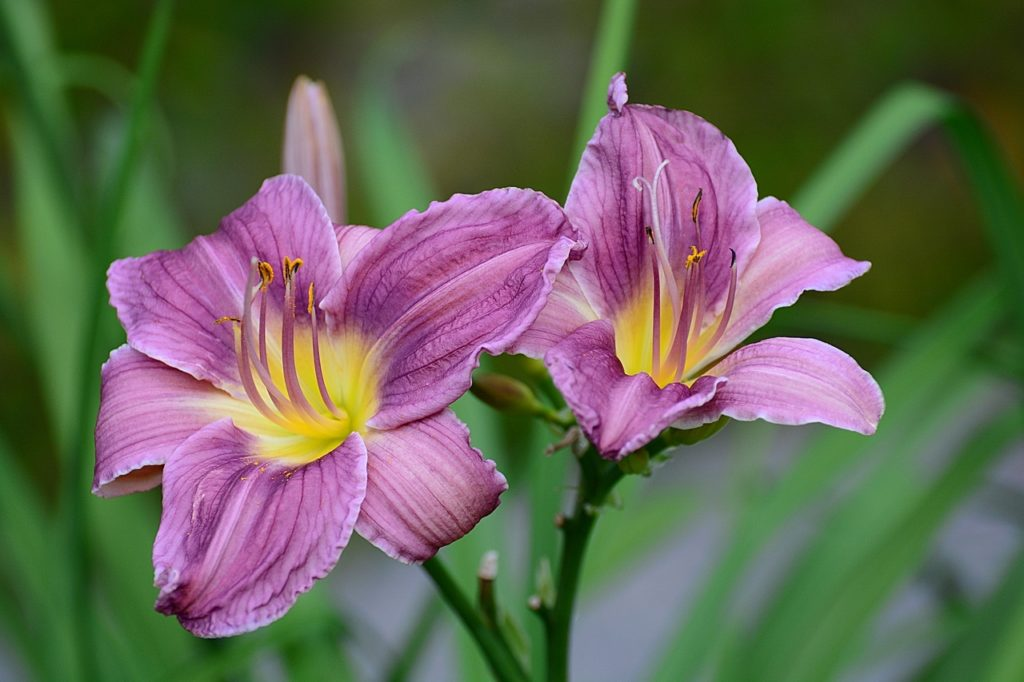 Род Лилейников насчитывает около 60 тыс. сортов, которые ежегодно пополняются новыми гибридами. Новые лилейники настолько разнообразны, что выбрать можно на любой вкус. Высота растений обычно от 45 до 125см.