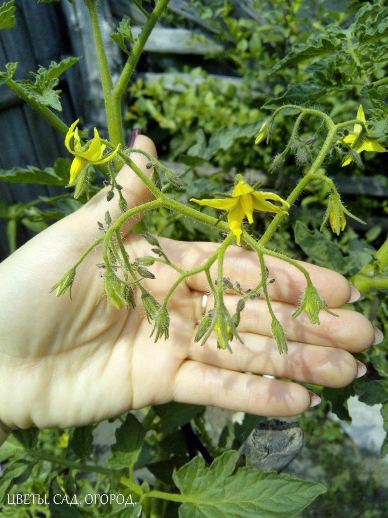 Положительные свойства борной кислоты для томатов:  - Оказывает хорошее влияние на формирование завязей, стимулирует цветение.