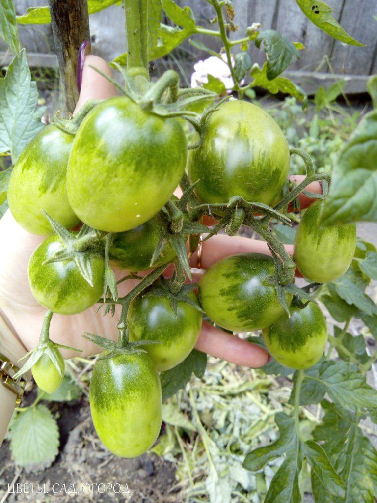 Положительные свойства борной кислоты для томатов:    - Ускоряет созревание плодов.