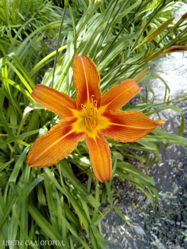Сажать лилейник нужно на солнце или в крайнем случае в полутени. В тени он не будет цвести.