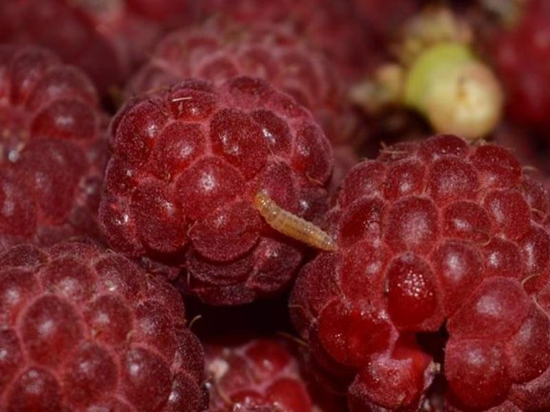 Личинка малинного жука .Черви в ягодах малины – это результат работы малинного жука и чтобы их не было, нужно бороться с этим вредителем.