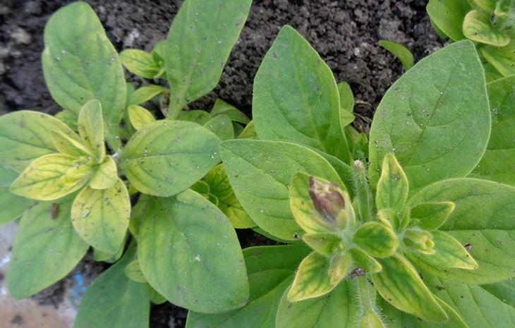 Хлороз – это состояние растения, при котором листья по тем или иным причинам приобретают жёлтую окраску.