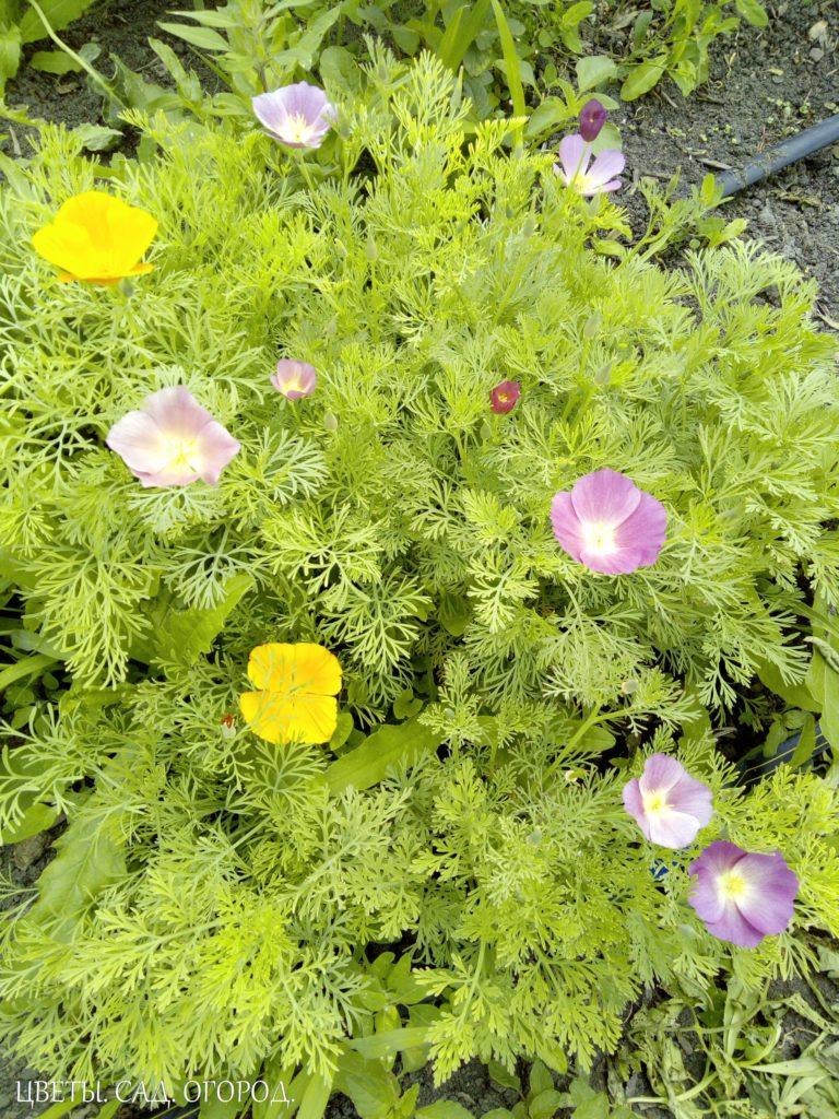 Эшшольция: несколько цветов (фиолетовые и желтые)