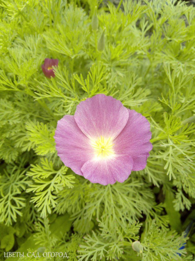 Эшшольция фиолетовая, один цветок
