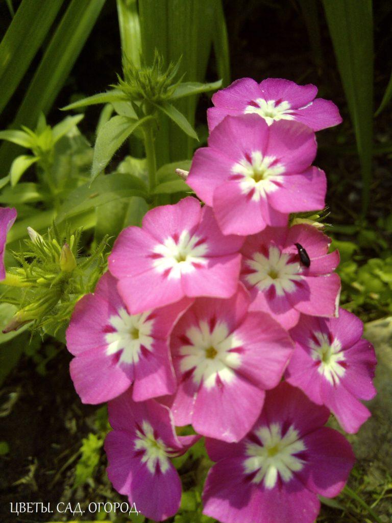 Цветение однолетних флоксов