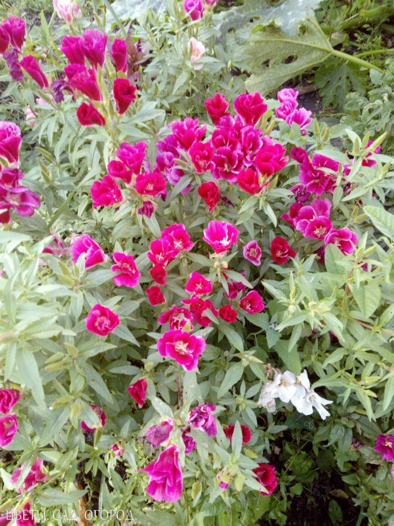 Цветение розовой годеции