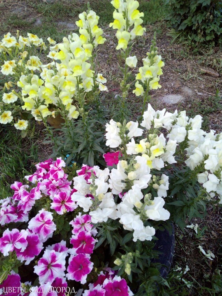 Цветение петунии и желтого львиного зева