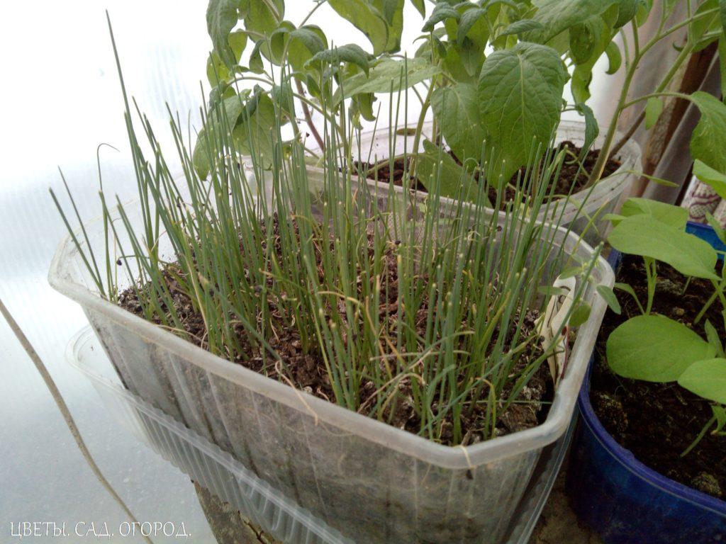 Лук -порей: выращивание рассады