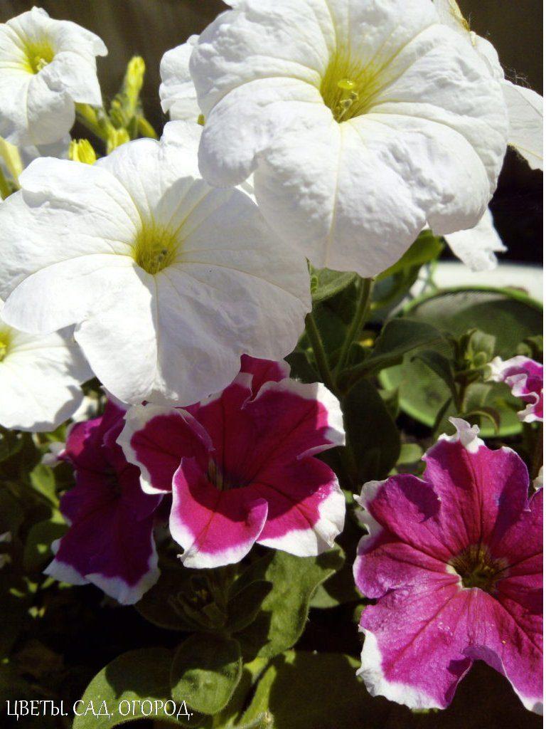 Цветение петунии (белая и красная)