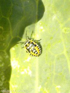 Крестоцветный клоп фото. Вредитель на листе капусты
