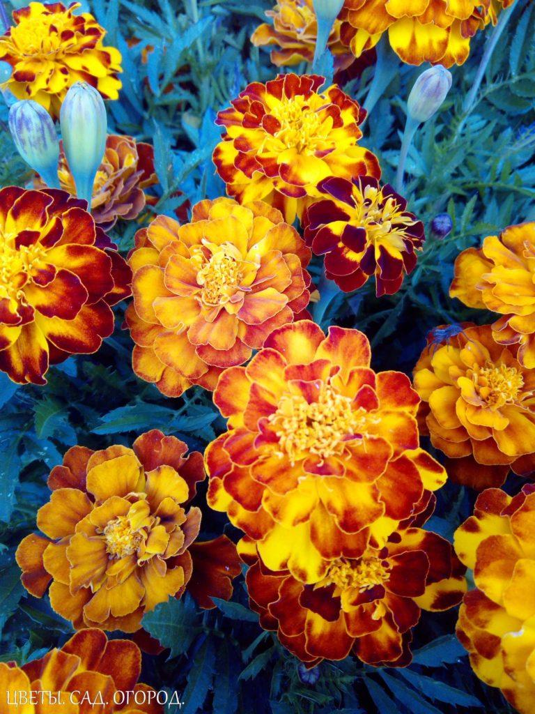 Бархатцы. (Tagetes) - род однолетних растений из семейства астровые (сложноцветные). Насчитывает около 20 видов. Стебли - прямостоячие, разветвленные, образуют компактный или раскидистый куст высотой от 20 до 120 см. Корневая система мочковатая. Листья - перисто - рассеченные или перисто – раздельные. Соцветия корзинки, простые или махровые, желтые, оранжевые или коричневые. Плод - черная или черно-коричневая сильно сплюснутая семянка.