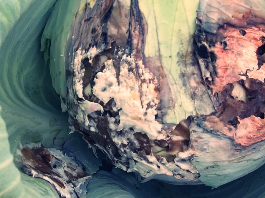 Белая гниль на капусте фото Симптомы - появление на тыльной стороне листа паутинных налетов и загнивание кочана. Заражение растений происходит от пораженной почвы, и быстро развивается в прохладную погоду.