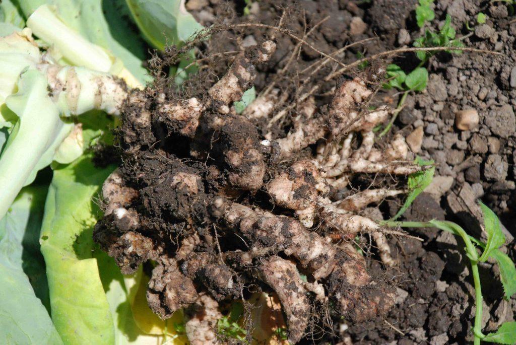 Кила на капусте фото Гнилостные наросты  на корнях капусты, пораженной килой