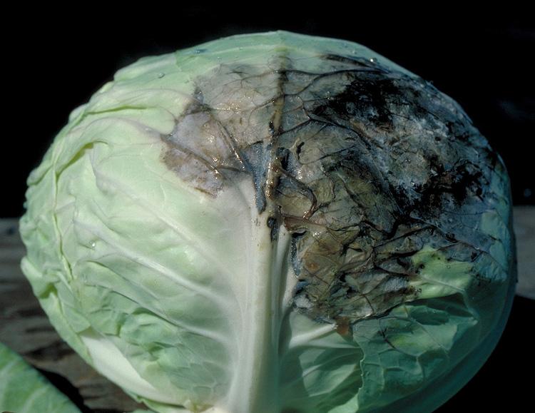 Слизистый бактериоз на капусте фото Вызывается бактерией. Pectobacterium carotovorum subsp. carotovorum (Jones) Waldee.  Симптомы проявляются во второй половине вегетации. По характеру развития заболевание можно разделить на два типа