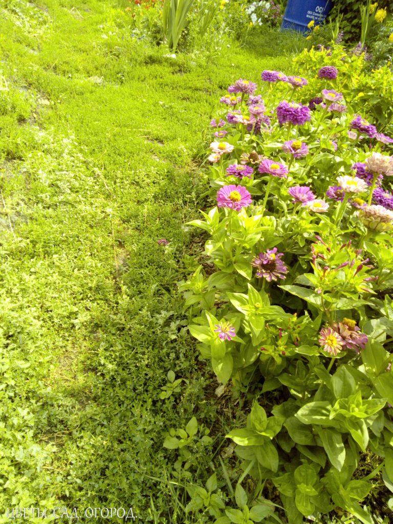 Бордюр из цинний. Бордюр чаще всего составляют из одного вида низкорослых компактных растений, которые так и называются — бордюрные. Бордюрные растения должны контрастировать по цвету с основными декоративными видами, высаживаемыми в цветнике. Для бордюров используются как однолетние цветочные культуры, так и низкорослые многолетники.