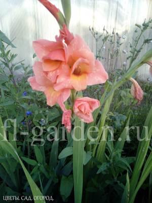 Цветущий гладиолус в открытом грунте