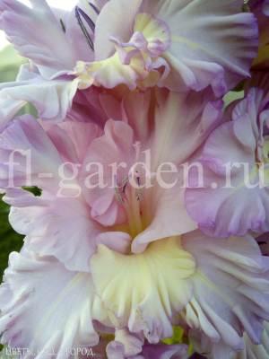 Фиолетовый цветок гладиолуса