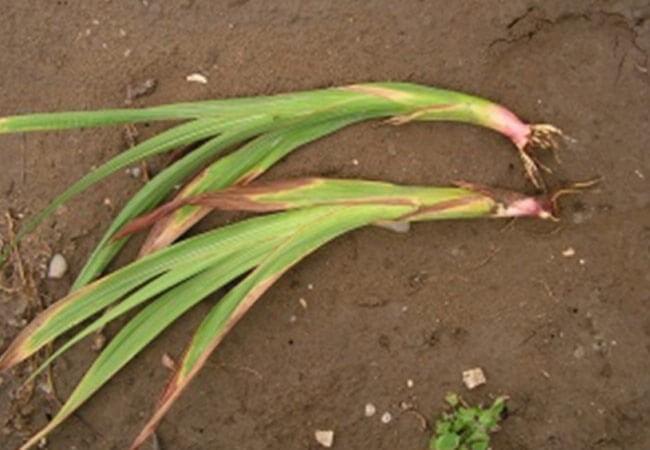 Фузариоз на гладиолусах. Больные луковицы теряют всхожесть. Либо растут слабо, выпускают дефектные, низкорослые побеги, искривленные и загнутые.