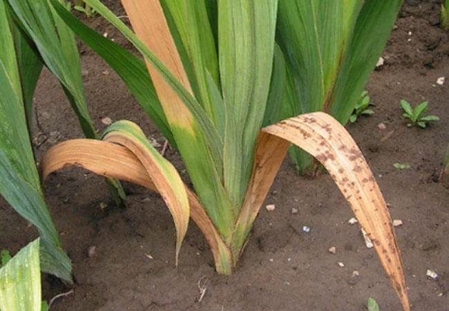 Фузариоз на гладиолусах. Благоприятными условиями для грибкового поражения фузариозом можно считать: - Высокую влажность почвы. Здесь дело не только в чрезмерном поливе, но и в климате. Обильные росы, осадки играют немаловажную роль. - Кислые тяжелые почвы (выше 6,5pH). - Обилие азотного питания, например, тот же свежий, неперепревший навоз. - Частую и густую посадку цветов.