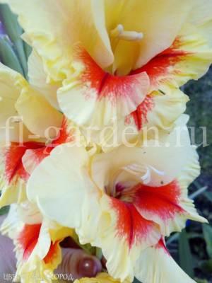 Гладиолус желто-красный