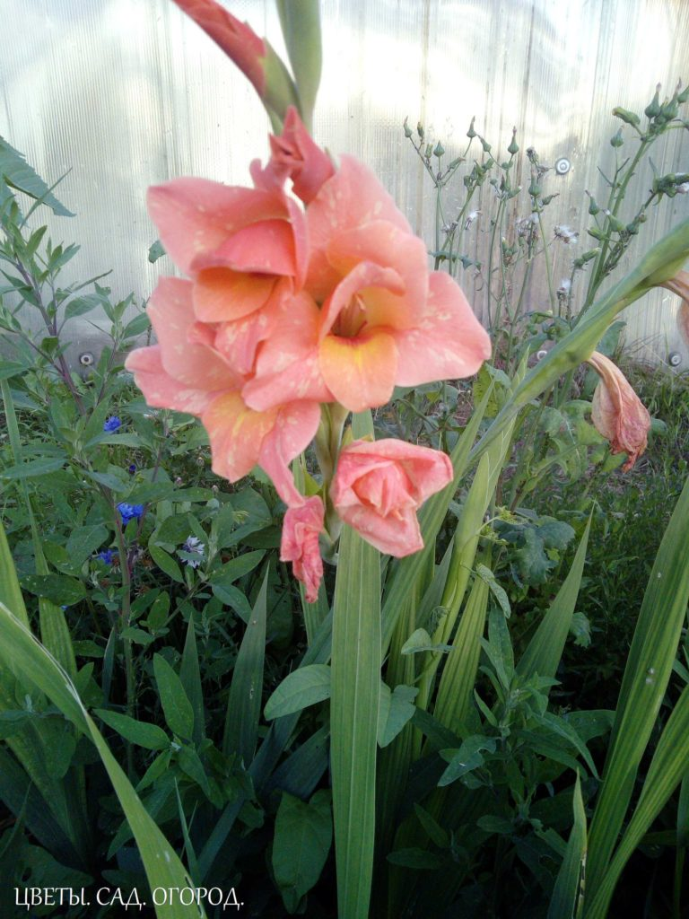 Розовый гладиолус