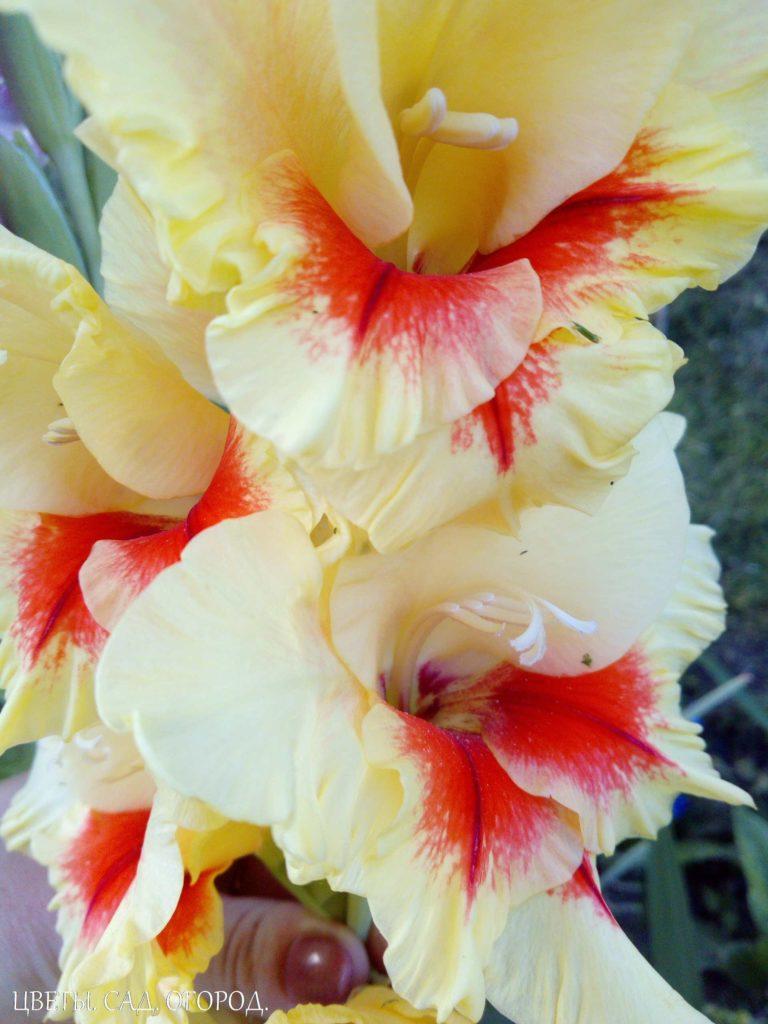 Желто-красный гладиолус