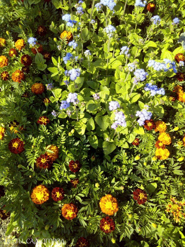 Клумба с бархатцами и агератумом. Самый распространенный прием цветочного оформления в регулярном стиле. Используется как самостоятельный элемент цветочного оформления или входит в состав более сложных видов.