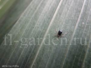 Тля на листе гладиолуса