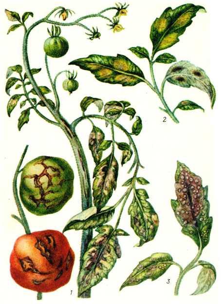 1 - стрик (пораженные плоды, стебель и листья);  2 - бурая пятнистость (пораженные листья);  3 - белая пятнистость (пораженный лист)