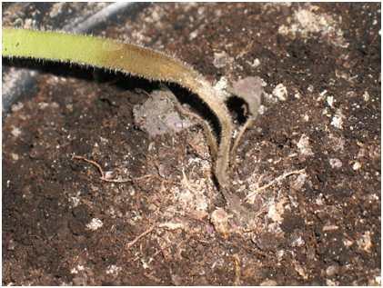 Черная ножка. Болезнь обычно поражает рассаду и молодые кусты томатов при неправильном уходе. В нижней части стебля ткани чернеют, истончаются и засыхают.