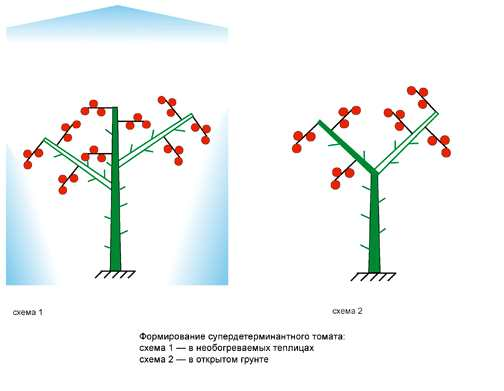 Формирование супердетерминантного томата