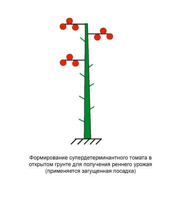 Формирование супердетерминантного томата в открытом грунте
