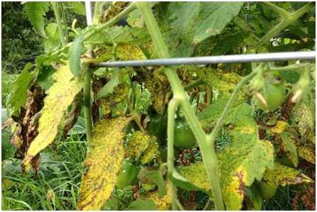 11.7 Фузариозное увядание - опасное грибное заболевание поражает помидоры как в теплицах, так и в открытом грунте. Заражение происходит в основном через корневую систему растений.