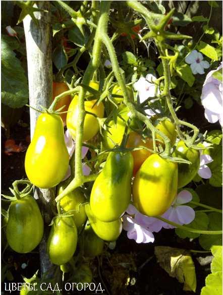 Плодытоматов — сочные многогнёздныеягодыразличной формы...
