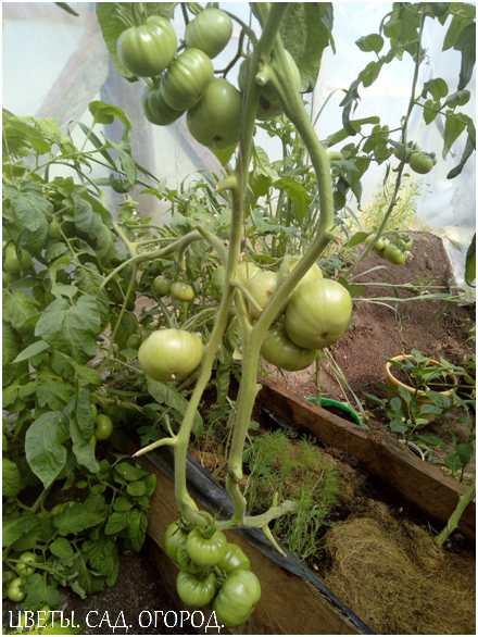 Когда растения зацветут, образуют завязи и начнётся налив плодов, у томатов повышается потребность в калии.