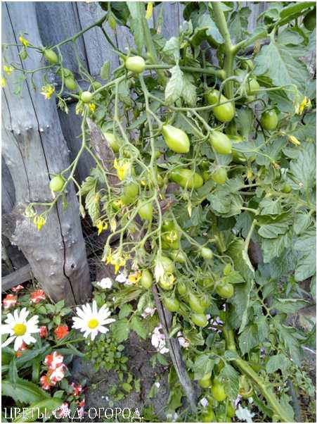 Хороший эффект дают подкормки борной кислотой в период цветения и образования завязей.