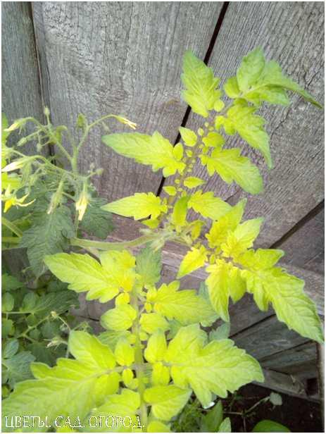В случае нехватки железа томаты полностью останавливаются в росте. Их молоденькие листики поражаются хлорозом. В наиболее тяжелых случаях листочки растений полностью белеют