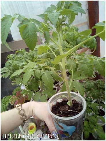 Готовность к высадке и качество рассады определяется наличием:  утолщенного стебля высотой не более 30 см с 6-7 листьями; коротких междоузлий; цветочной кисти (хотя бы 1 – для средне- и позднеспелых сортов, 1-2 – для раннеспелых сортов).