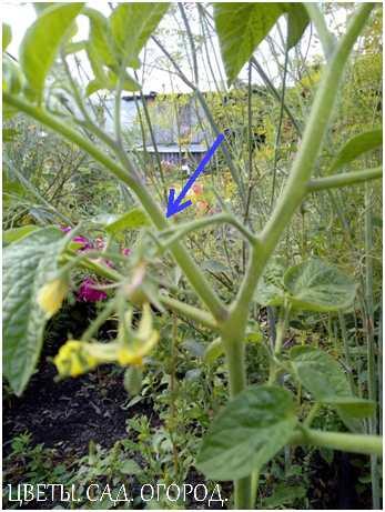 Пасынок томата – это побег, растущий из пазухи между листом и стеблем.