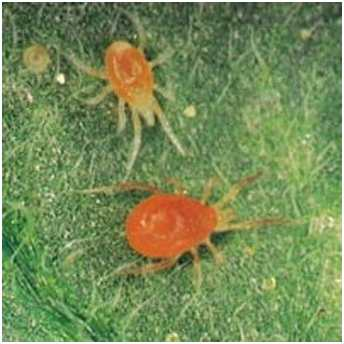 Паутинный клещ. Мелкое насекомое практически не различимое для невооружённого взгляда. Опутывает листья паутиной и высасывает из них сок.