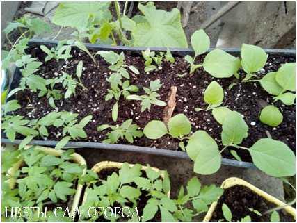 Пикировку рассады томатов проводят в фазе 2 настоящих листьев, примерно через 20 дней после всходов.