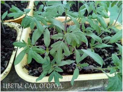 Рассада томатов. Первый настоящий листочек (зубчатый) появляется обычно через 12-14 дней
