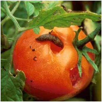 Слизни. Вредитель поедает листья и плоды томатов, оставляя узнаваемые следы. Поврежденные части растений в дальнейшем подвержены гнили.