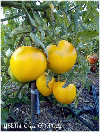 Для сбора семян плоды должны полностью вызреть. Либо на кусте, либо при дозаривании в домашних условиях.