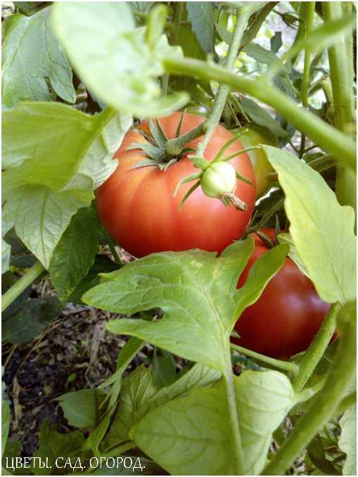 Окраска плодов томатов от бледно-розовой до ярко-красной и малиновой, от белой, светло-зелёной, светло-жёлтой до золотисто-жёлтой.