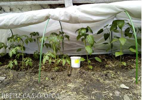 Отличные результаты дает выращивание помидоров под простыми пленочными укрытиями и на утепленном грунте — паровых грядах. Это позволяет обеспечить более высокие урожаи ранних помидоров а также ускоряет созревание плодов.