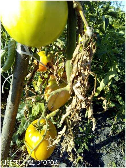 Вертициллезное увядание на томате