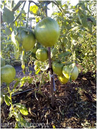 Мульчирование гряд с томатами.