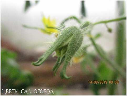 Цветкитоматов мелкие, невзрачные, жёлтые различных оттенков, собраны в кисть.